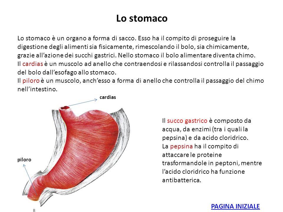 Lo stomaco Lo stomaco è un organo a forma di sacco. Esso ha il compito di proseguire la digestione degli alimenti sia fisicamente, rimescolando il bol