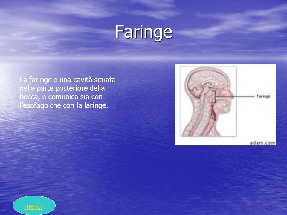 Faringe La faringe e una cavità situata nella parte posteriore della bocca, e comunica sia con lesofago che con la laringe. menù