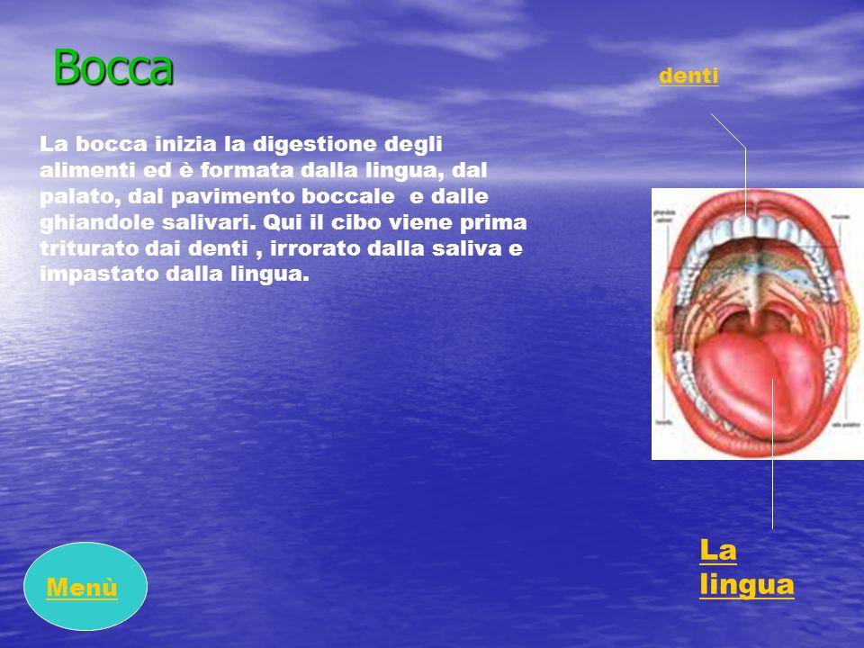 Bocca La bocca inizia la digestione degli alimenti ed è formata dalla lingua, dal palato, dal pavimento boccale e dalle ghiandole salivari. Qui il cib
