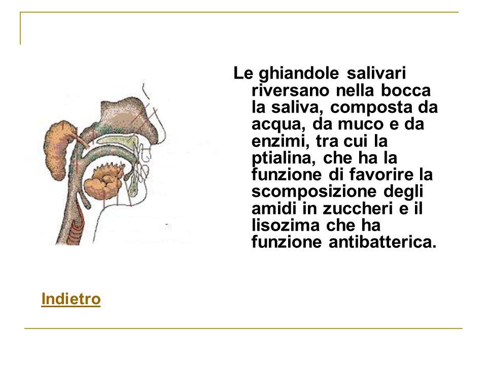 Le ghiandole salivari riversano nella bocca la saliva, composta da acqua, da muco e da enzimi, tra cui la ptialina, che ha la funzione di favorire la