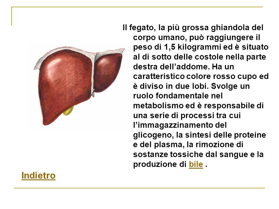 Il fegato, la più grossa ghiandola del corpo umano, può raggiungere il peso di 1,5 kilogrammi ed è situato al di sotto delle costole nella parte destr