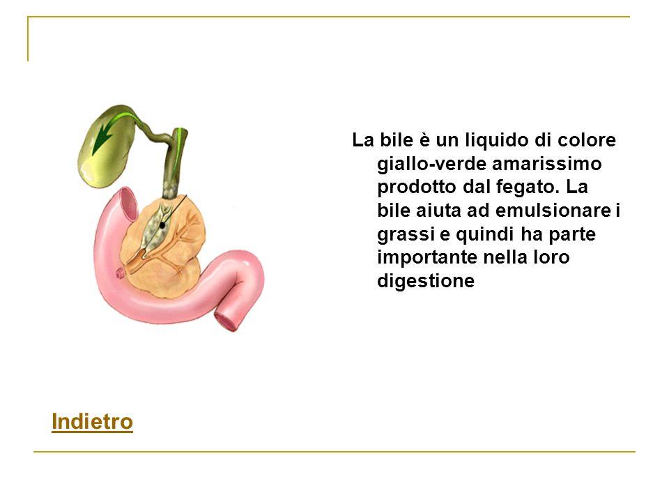 La bile è un liquido di colore giallo-verde amarissimo prodotto dal fegato. La bile aiuta ad emulsionare i grassi e quindi ha parte importante nella l