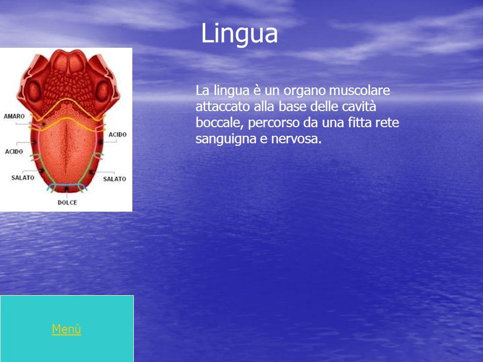 Lingua Menù La lingua è un organo muscolare attaccato alla base delle cavità boccale, percorso da una fitta rete sanguigna e nervosa.