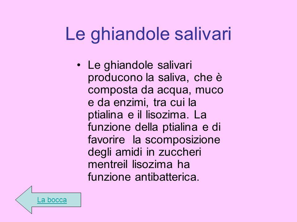 Le ghiandole salivari Le ghiandole salivari producono la saliva, che è composta da acqua, muco e da enzimi, tra cui la ptialina e il lisozima. La funz