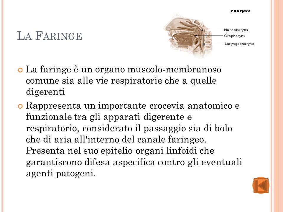 L A F ARINGE La faringe è un organo muscolo-membranoso comune sia alle vie respiratorie che a quelle digerenti Rappresenta un importante crocevia anatomico e funzionale tra gli apparati digerente e respiratorio, considerato il passaggio sia di bolo che di aria all interno del canale faringeo.