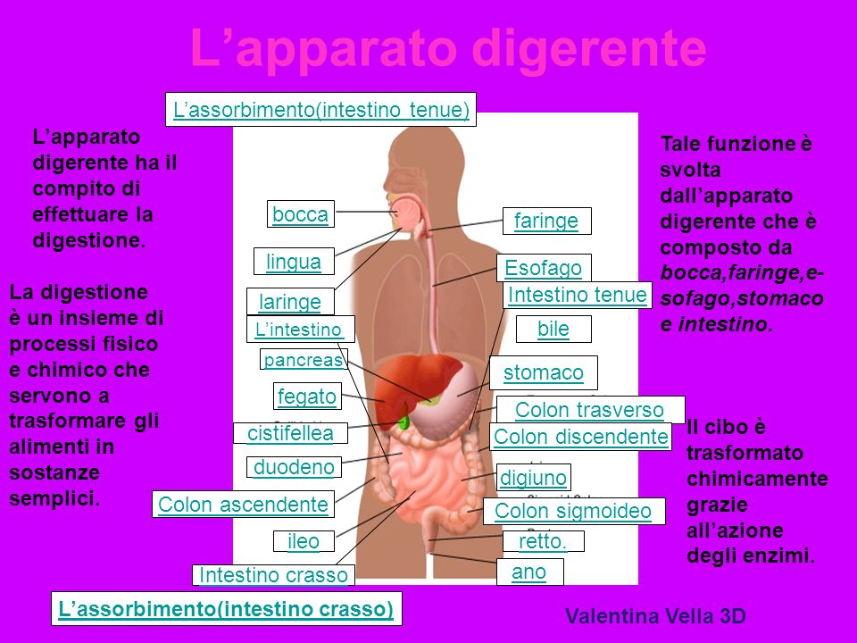 Lapparato digerente Esofago stomaco pancreas ileoretto. digiuno bocca Colon ascendente duodeno Colon trasverso Colon discendente cistifellea faringe f