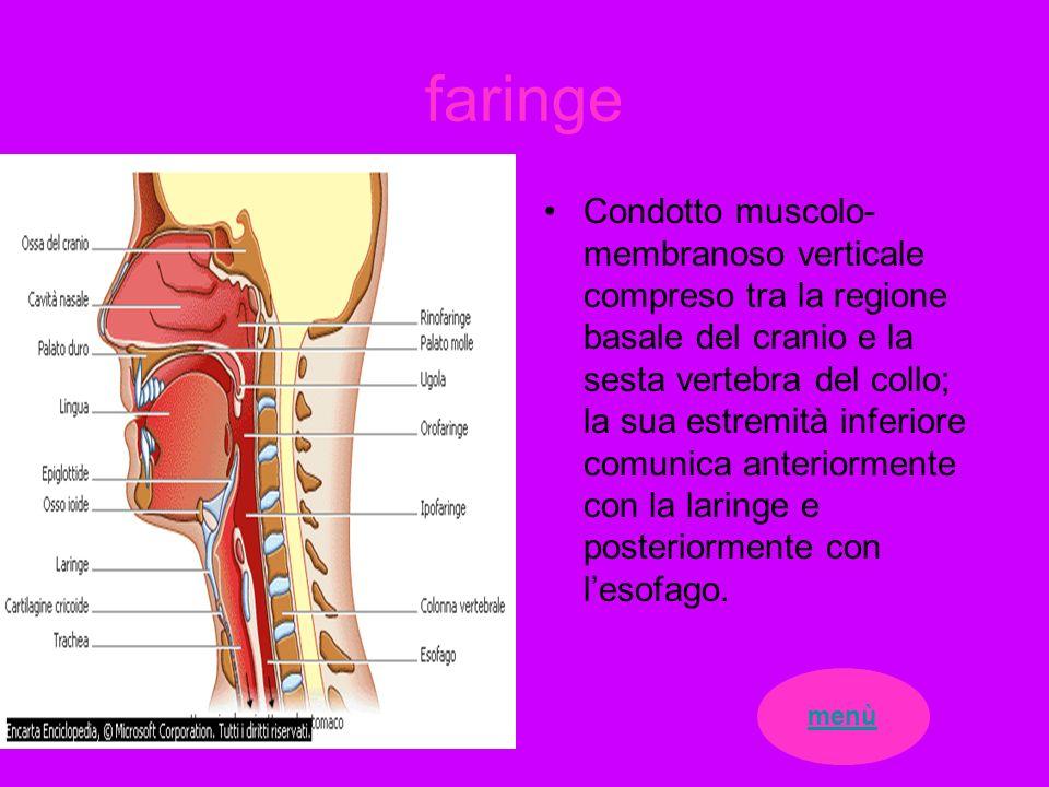 faringe Condotto muscolo- membranoso verticale compreso tra la regione basale del cranio e la sesta vertebra del collo; la sua estremità inferiore com
