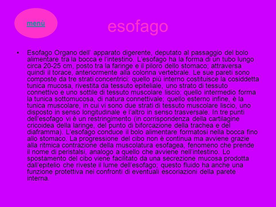 esofago Esofago Organo dell apparato digerente, deputato al passaggio del bolo alimentare tra la bocca e lintestino. Lesofago ha la forma di un tubo l