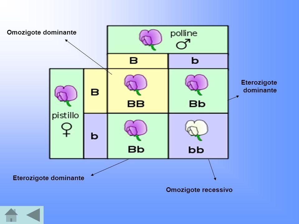 Omozigote dominante Eterozigote dominante Omozigote recessivo Eterozigote dominante