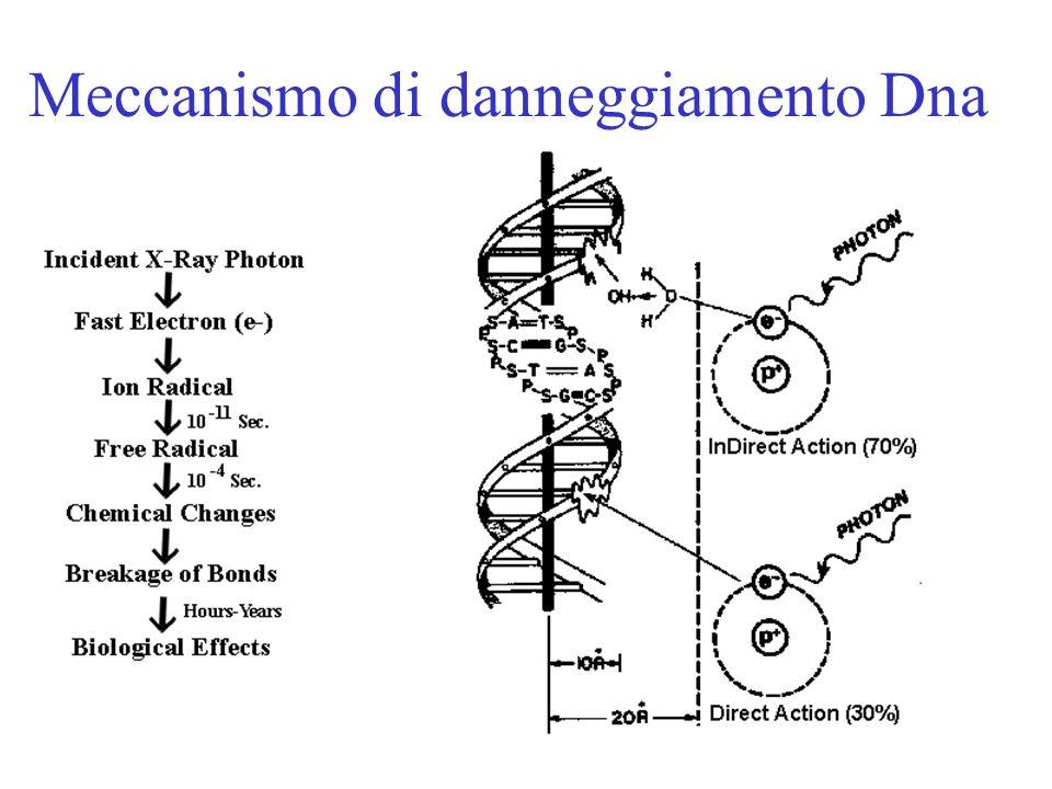 Meccanismo di danneggiamento Dna