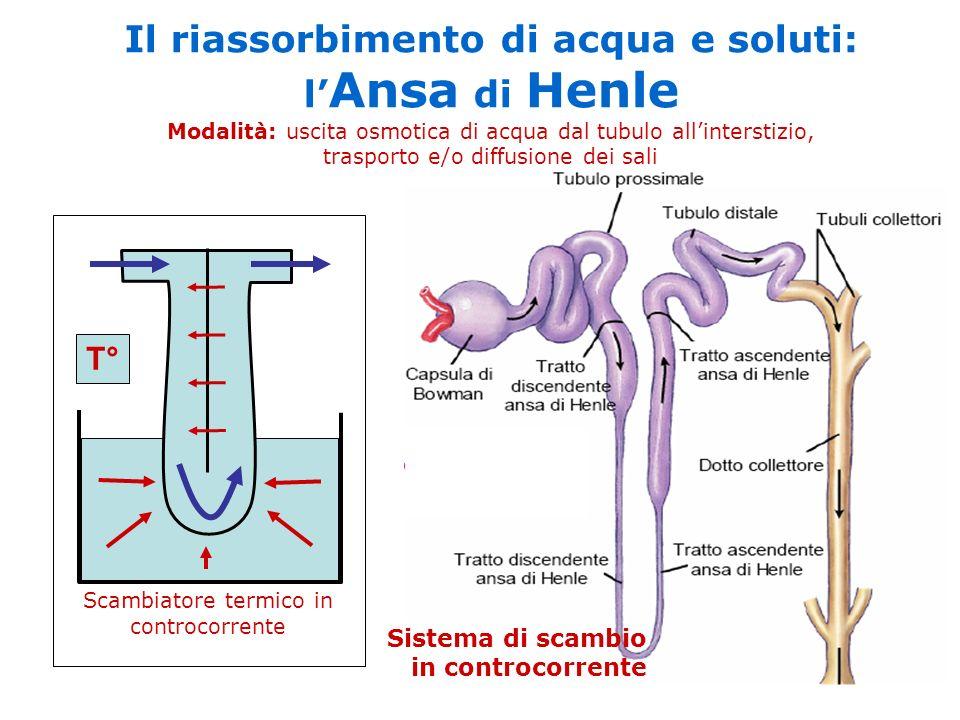 T° Scambiatore termico in controcorrente Il riassorbimento di acqua e soluti: l Ansa di Henle Modalità: uscita osmotica di acqua dal tubulo allinterst