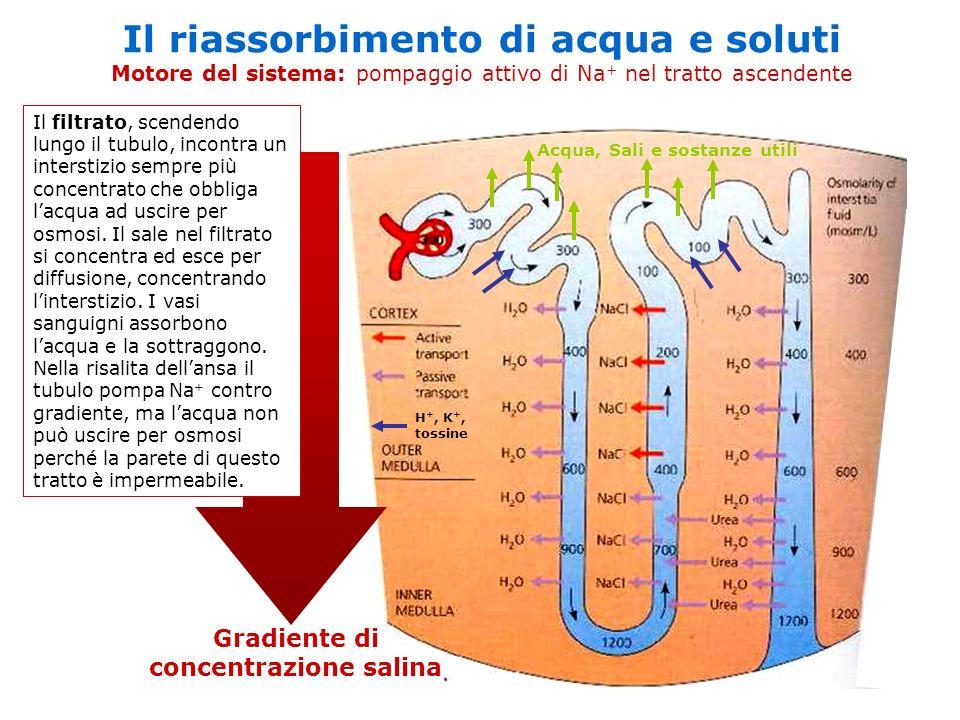 Gradiente di concentrazione salina Il riassorbimento di acqua e soluti Motore del sistema: pompaggio attivo di Na + nel tratto ascendente Il filtrato,