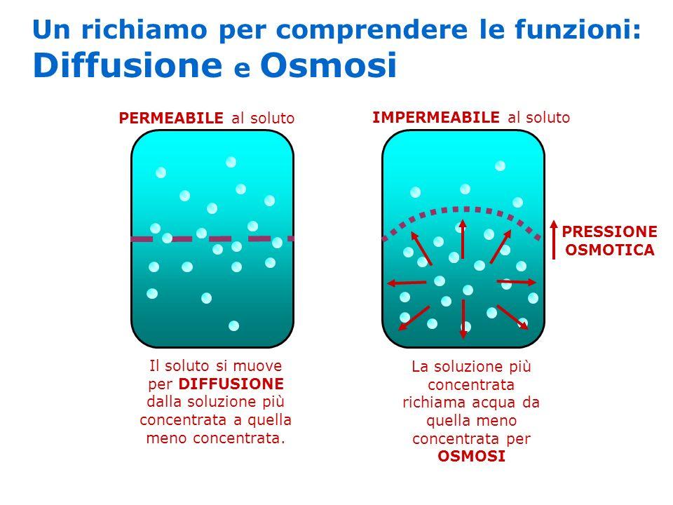 La soluzione più concentrata richiama acqua da quella meno concentrata per OSMOSI Il soluto si muove per DIFFUSIONE dalla soluzione più concentrata a