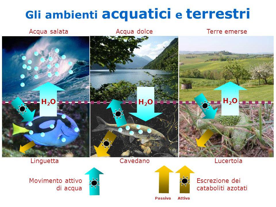 H2OH2O H2OH2O H2OH2O Linguetta Cavedano Lucertola Acqua salata Acqua dolce Terre emerse Escrezione dei cataboliti azotati Passiva Attiva Gli ambienti acquatici e terrestri Movimento attivo di acqua