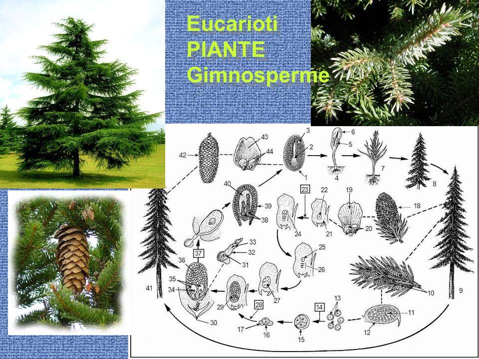 Eucarioti PIANTE Gimnosperme Eucarioti PIANTE Gimnosperme
