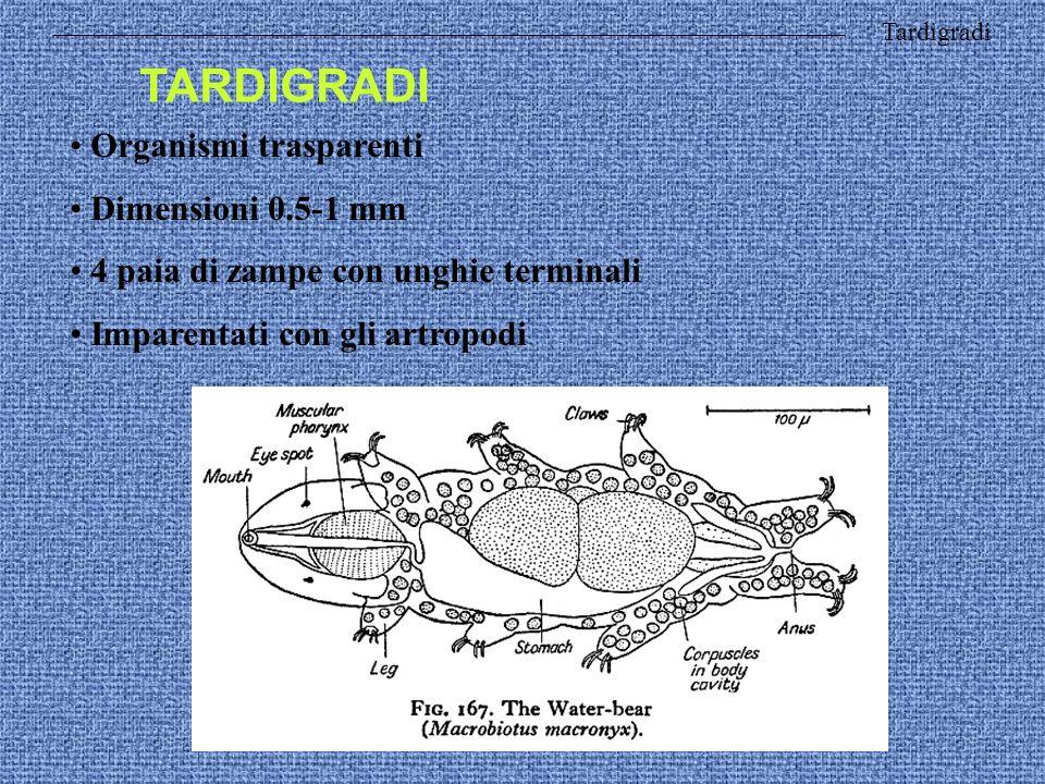 Tardigradi TARDIGRADI Organismi trasparenti Dimensioni 0.5-1 mm 4 paia di zampe con unghie terminali Imparentati con gli artropodi
