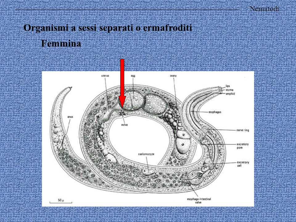 Organismi a sessi separati o ermafroditi Femmina