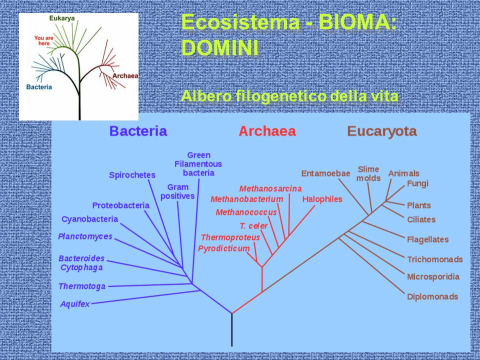 Eucarioti PIANTE Angiosperme Dicotiledoni Eucarioti PIANTE Angiosperme Dicotiledoni Foglia (sezione)