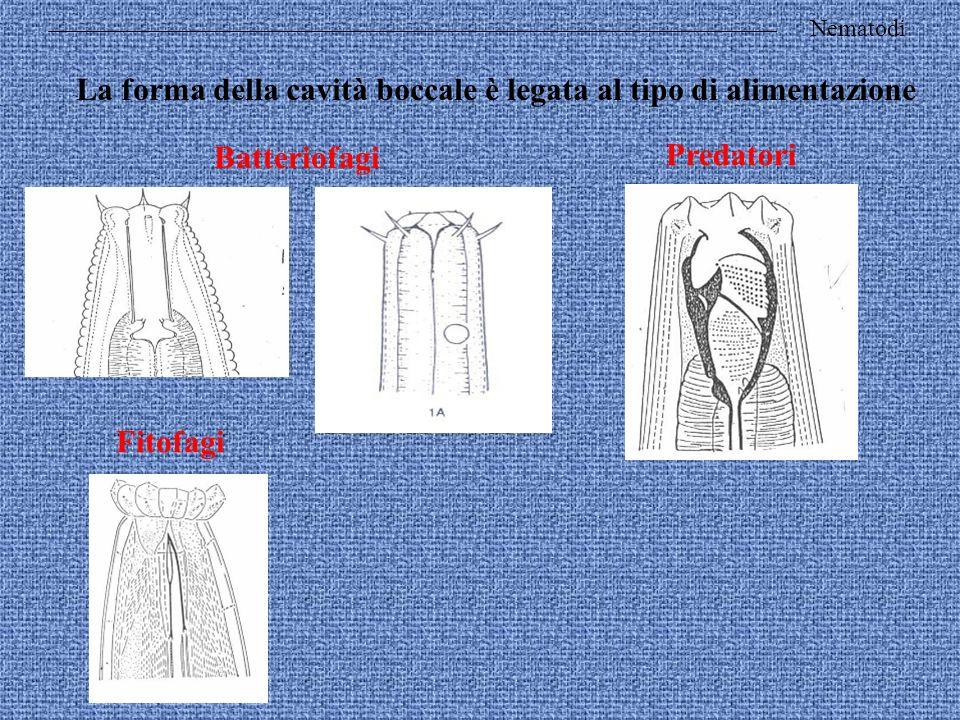 Nematodi La forma della cavità boccale è legata al tipo di alimentazione Batteriofagi Predatori Fitofagi
