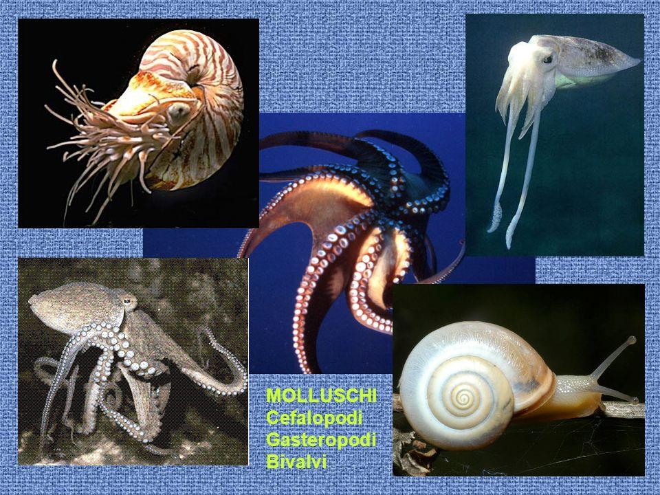 MOLLUSCHI Cefalopodi Gasteropodi Bivalvi