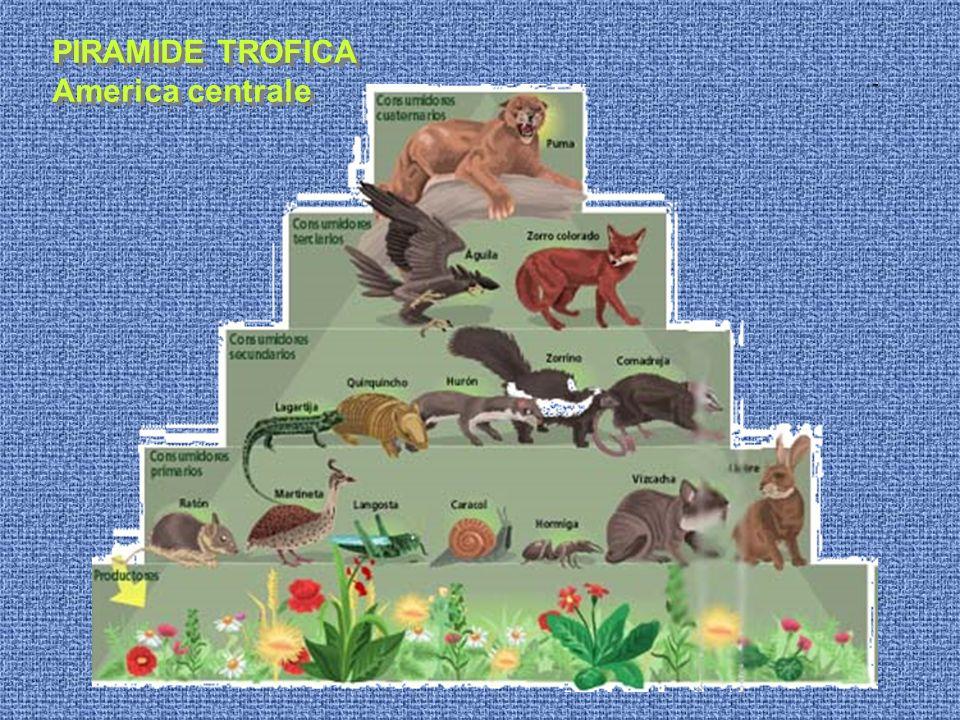 PIRAMIDE TROFICA America centrale PIRAMIDE TROFICA America centrale