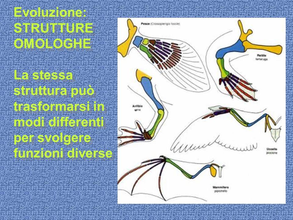 Evoluzione: STRUTTURE OMOLOGHE La stessa struttura può trasformarsi in modi differenti per svolgere funzioni diverse Evoluzione: STRUTTURE OMOLOGHE La