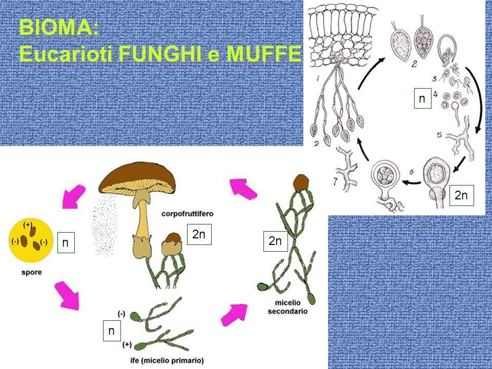 BIOMA: Eucarioti FUNGHI e MUFFE BIOMA: Eucarioti FUNGHI e MUFFE 2n n n n