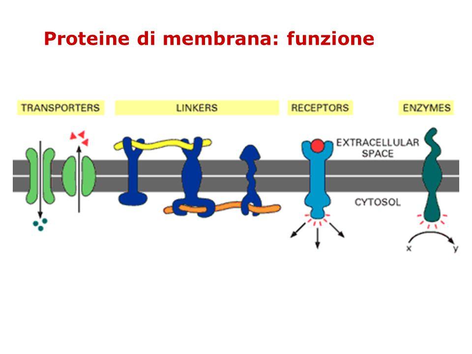 Proteine di membrana: funzione