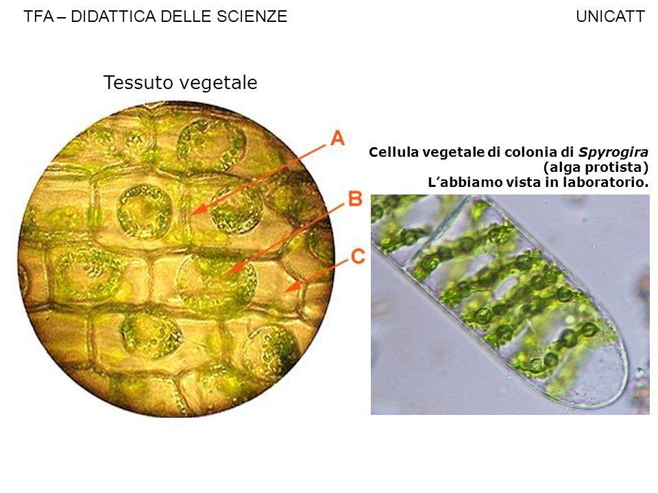 Tessuto vegetale Cellula vegetale di colonia di Spyrogira (alga protista) Labbiamo vista in laboratorio. TFA – DIDATTICA DELLE SCIENZE UNICATT