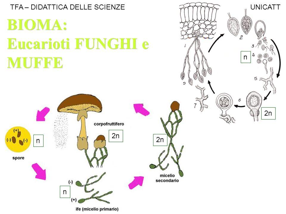 2n n n n BIOMA: Eucarioti FUNGHI e MUFFE BIOMA: Eucarioti FUNGHI e MUFFE TFA – DIDATTICA DELLE SCIENZE UNICATT