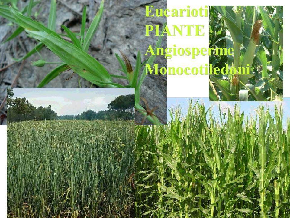 Eucarioti PIANTE Angiosperme Monocotiledoni Eucarioti PIANTE Angiosperme Monocotiledoni