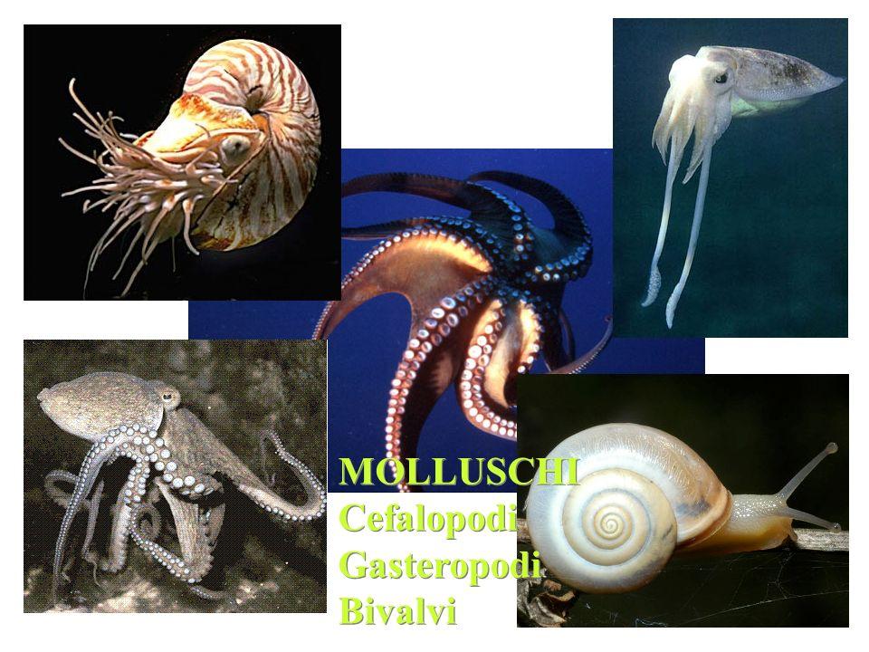 MOLLUSCHI Cefalopodi Gasteropodi Bivalvi MOLLUSCHI Cefalopodi Gasteropodi Bivalvi