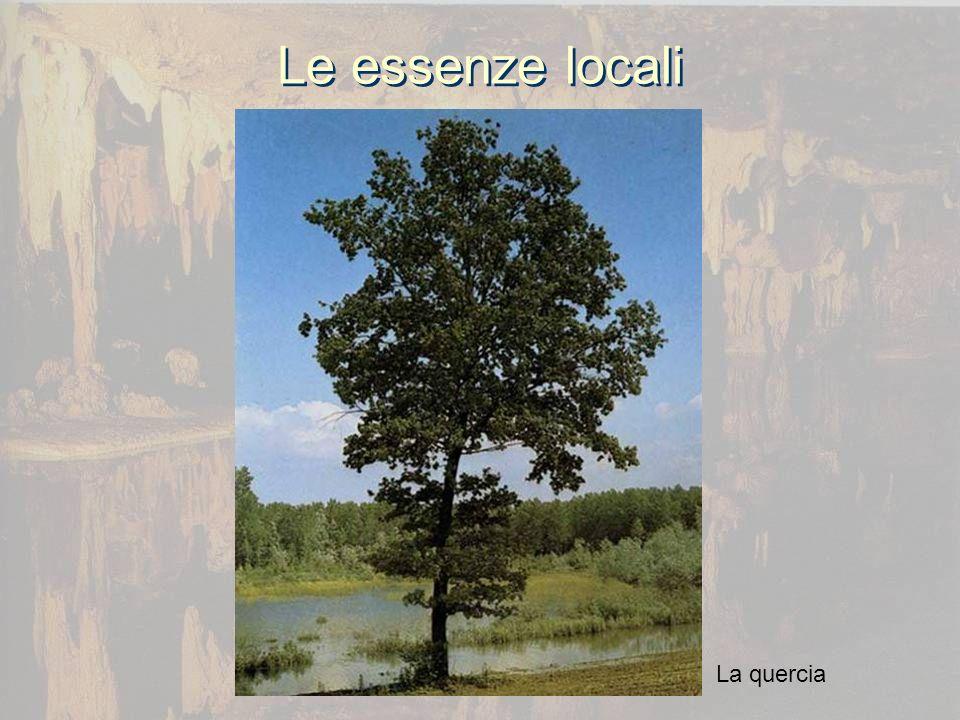 Le essenze locali La quercia