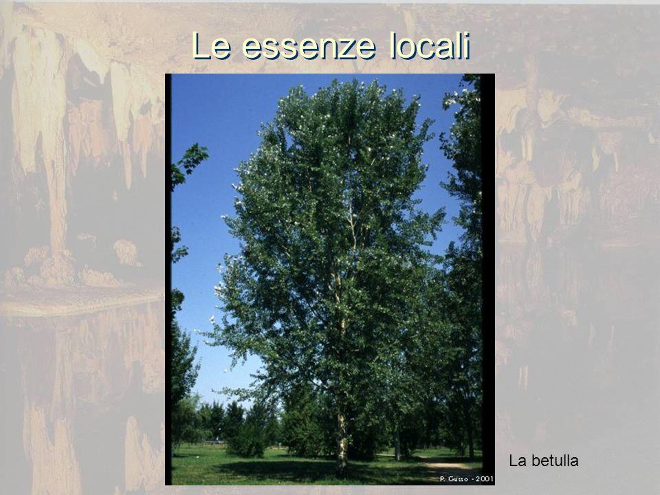 Le essenze locali La betulla