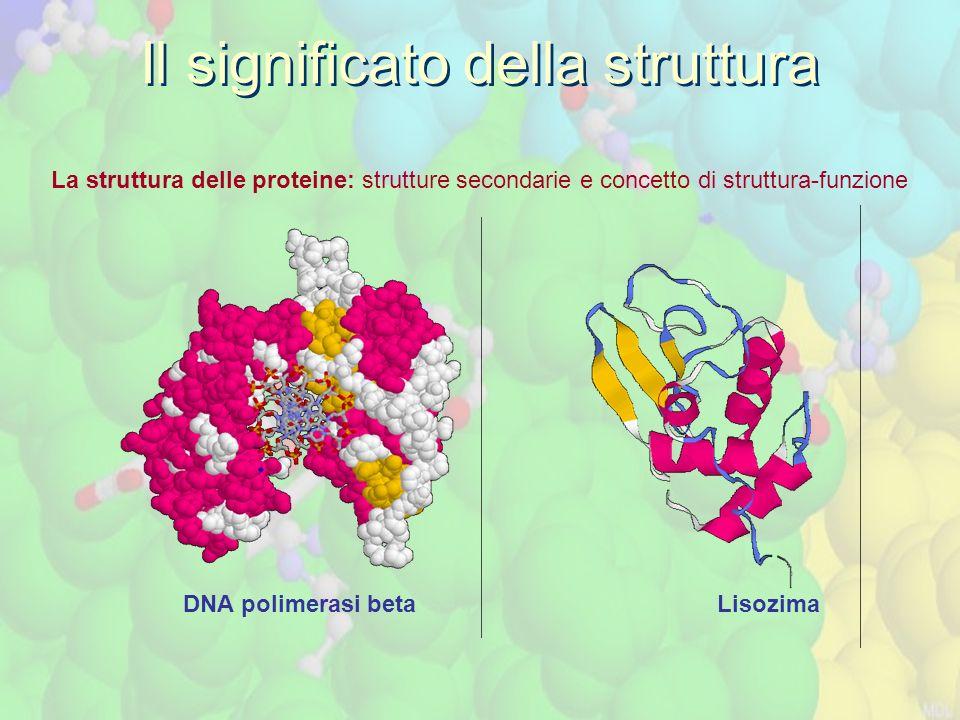 La struttura delle proteine: strutture secondarie e concetto di struttura-funzione Il significato della struttura DNA polimerasi beta Lisozima