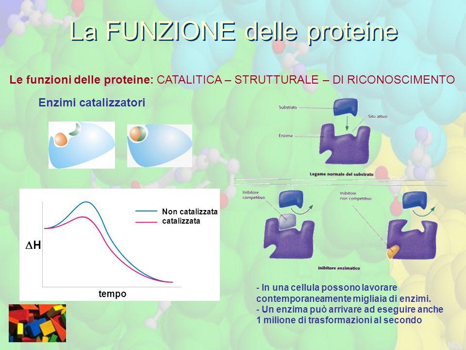 Le funzioni delle proteine: CATALITICA – STRUTTURALE – DI RICONOSCIMENTO La FUNZIONE delle proteine Enzimi catalizzatori Non catalizzata catalizzata H