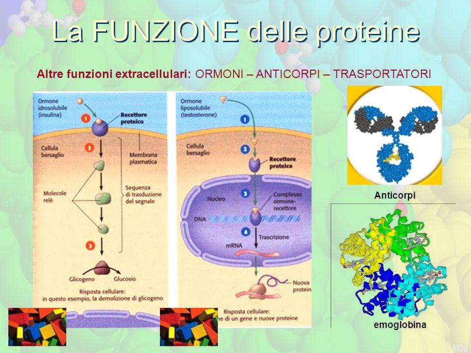 La FUNZIONE delle proteine Altre funzioni extracellulari: ORMONI – ANTICORPI – TRASPORTATORI Anticorpi emoglobina
