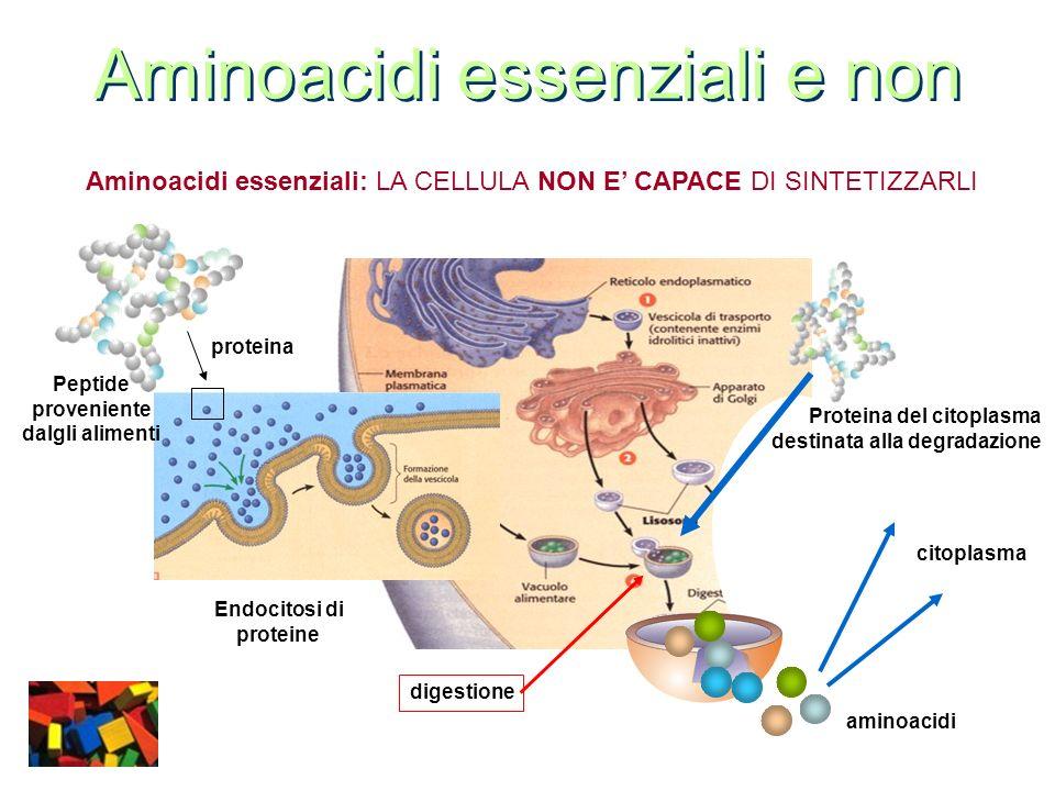 Aminoacidi essenziali e non Aminoacidi non essenziali: LA CELLULA E CAPACE DI SINTETIZZARLI Aminoacidi essenziali digestione Precursori chimici di un aminoacido Proteina preposta alla sintesi dellaminoacido Attività di sintesi dellaminoacido Aminoacidi non essenziali Sintesi di nuove proteine