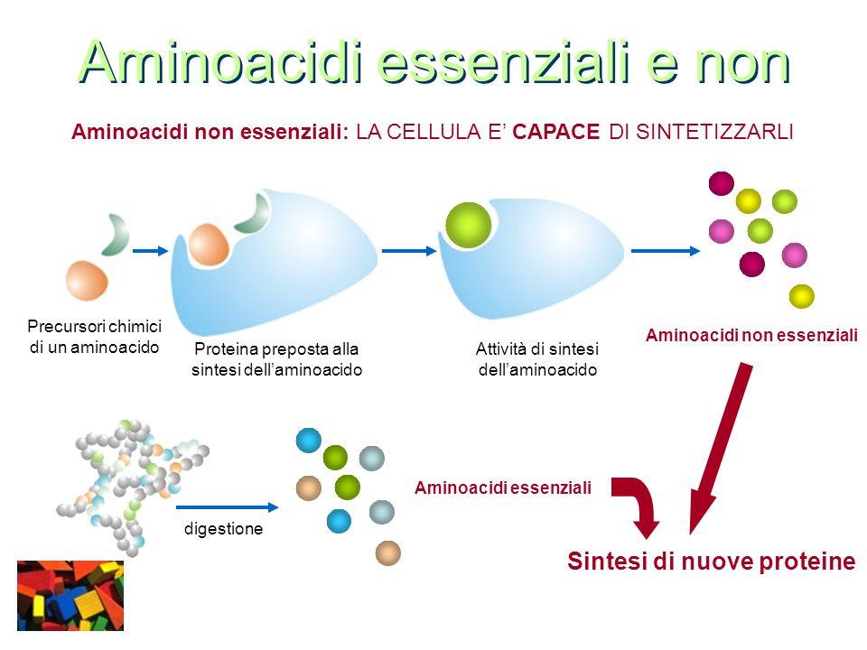 Aminoacidi essenziali e non Aminoacidi non essenziali: LA CELLULA E CAPACE DI SINTETIZZARLI Aminoacidi essenziali digestione Precursori chimici di un
