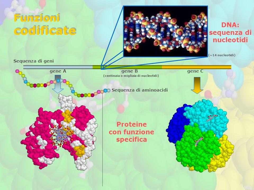 Sequenza di geni gene A gene B gene C Funzioni codificate Funzioni codificate Sequenza di aminoacidi Proteine con funzione specifica DNA: sequenza di