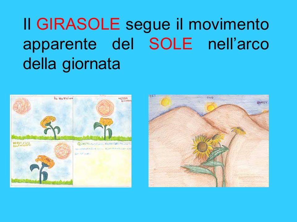 Il GIRASOLE segue il movimento apparente del SOLE nellarco della giornata