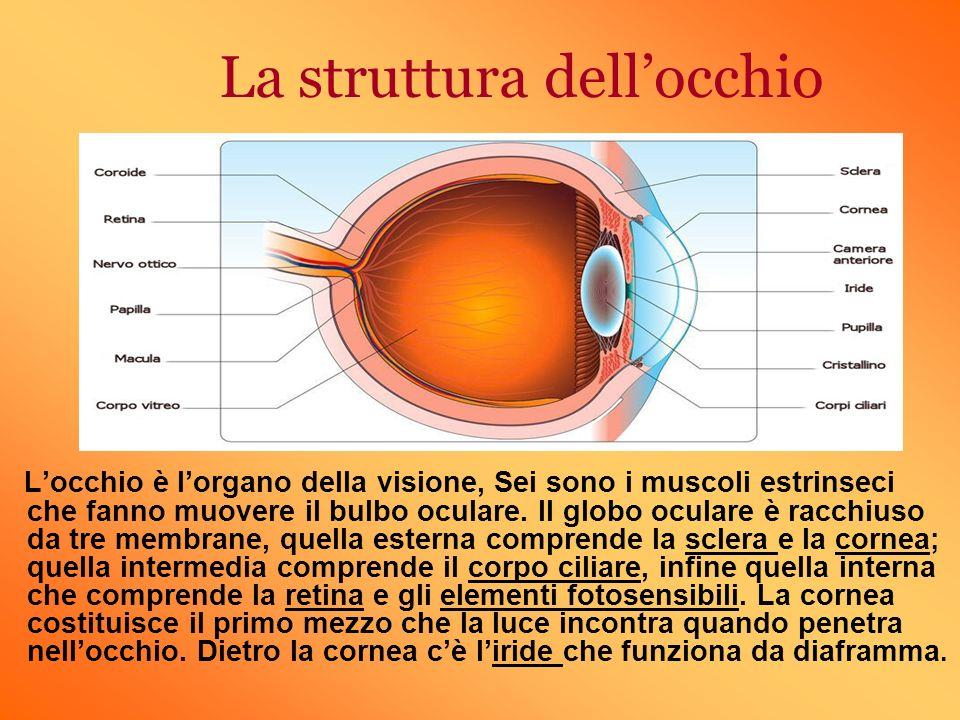 La struttura dellocchio Locchio è lorgano della visione, Sei sono i muscoli estrinseci che fanno muovere il bulbo oculare. Il globo oculare è racchius