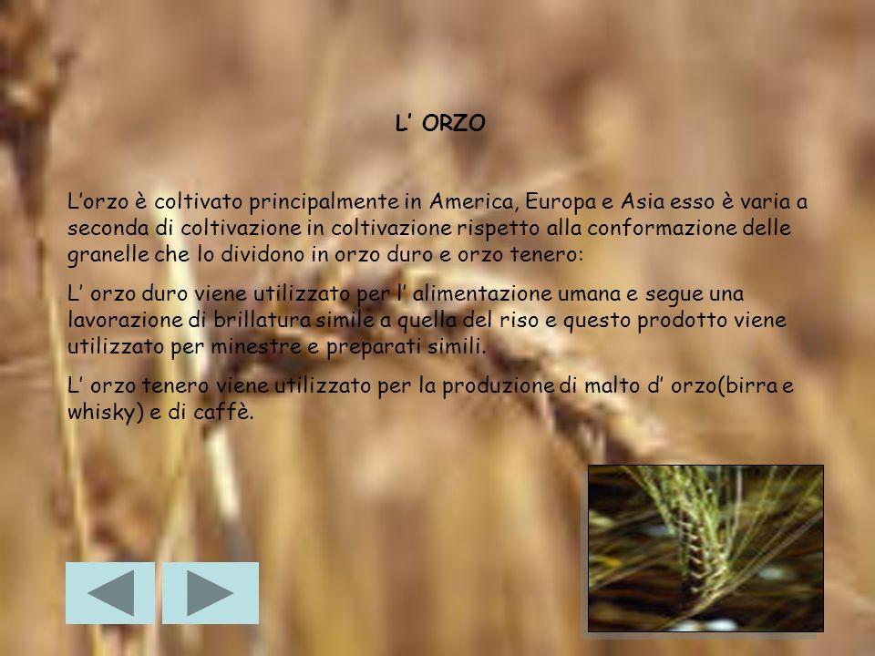 LAVENA È un cereale resistente al freddo ed allumido, coltivato soprattutto nei paesi del nord Europa.