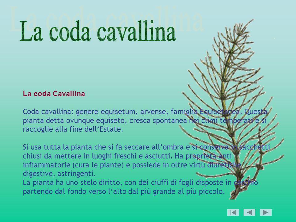 La coda Cavallina Coda cavallina: genere equisetum, arvense, famiglia Equisetacea. Questa pianta detta ovunque equiseto, cresca spontanea nei climi te
