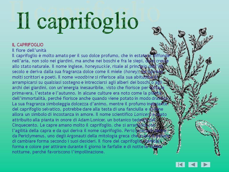 IL CAPRIFOGLIO Il fiore dellunità Il caprifoglio è molto amato per il suo dolce profumo, che in estate si diffonde nellaria, non solo nei giardini, ma