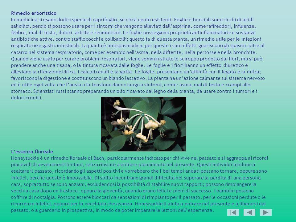 Rimedio erboristico In medicina si usano dodici specie di caprifoglio, su circa cento esistenti. Foglie e boccioli sono ricchi di acidi salicilici, pe