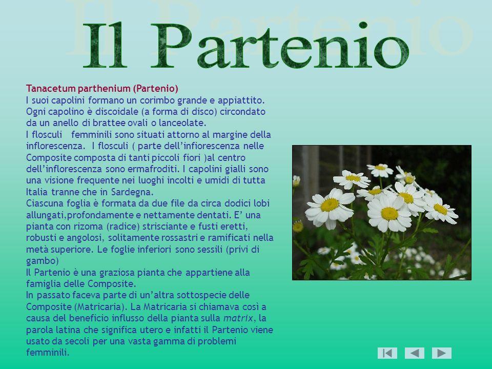 Tanacetum parthenium (Partenio) I suoi capolini formano un corimbo grande e appiattito. Ogni capolino è discoidale (a forma di disco) circondato da un