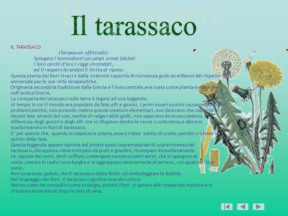 IL TARASSACO (Taraxacum officinalis) Spiegano i leontodonti sui campi ormai falciati i loro cerchi doro i raggi circondati, ed il vespero levandosi li
