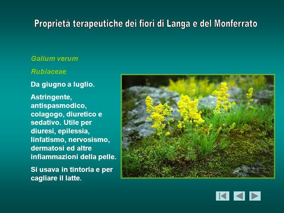 Galium verum Rubiaceae Da giugno a luglio. Astringente, antispasmodico, colagogo, diuretico e sedativo. Utile per diuresi, epilessia, linfatismo, nerv