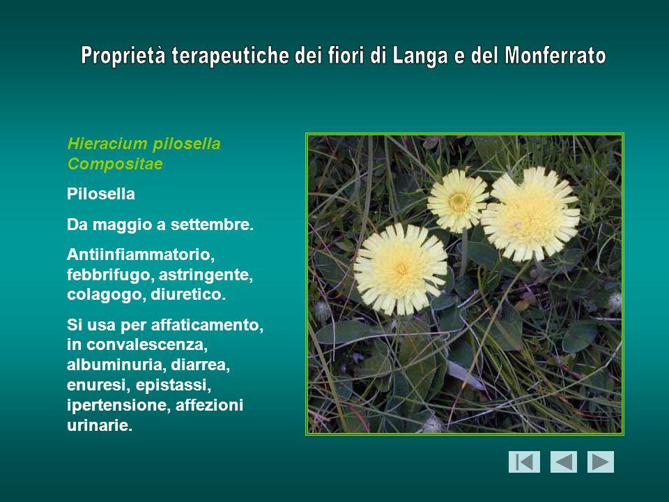 Hieracium pilosella Compositae Pilosella Da maggio a settembre. Antiinfiammatorio, febbrifugo, astringente, colagogo, diuretico. Si usa per affaticame